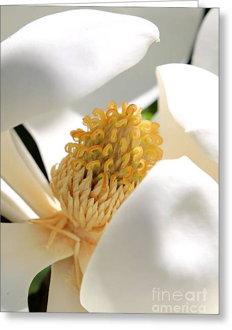 Magnolia Center Greeting Card by Carol Groenen