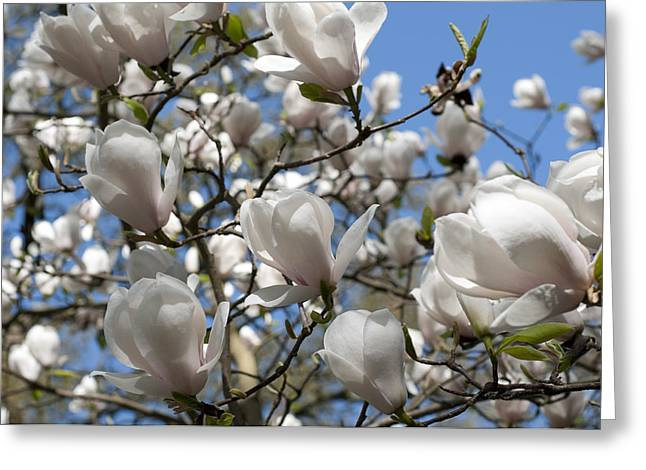 Greeting Card featuring the photograph Magnolia by Lana Enderle