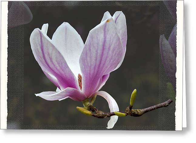 Magnolia Soulangeana Flower Greeting Card