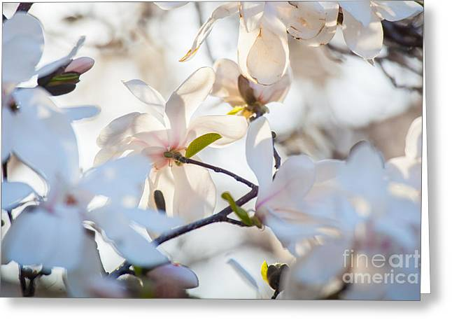 Magnolia Spring 3 Greeting Card by Susan Cole Kelly Impressions