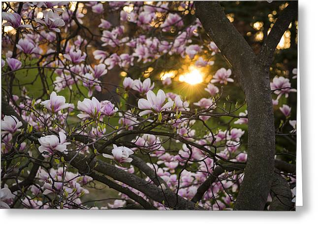 Magnolia Sunrise Greeting Card by Tracy Munson