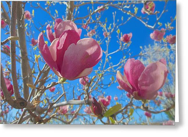 Magnolia Tree Blossoms 2 Greeting Card