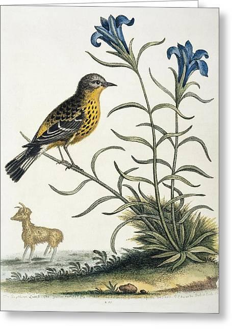Magnolia Warbler, 18th Century Artwork Greeting Card