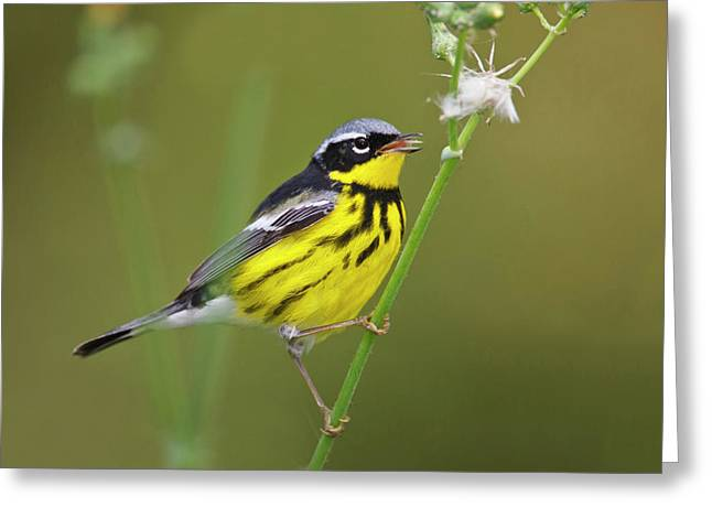 Magnolia Warbler (dendroica Magnolia Greeting Card by Larry Ditto