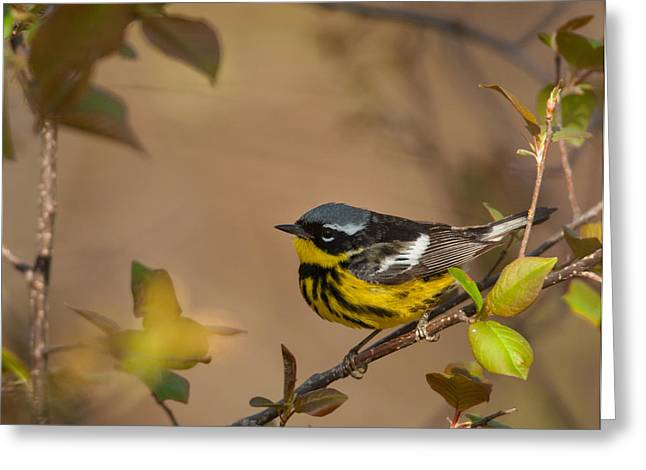 Magnolia Warbler Greeting Card
