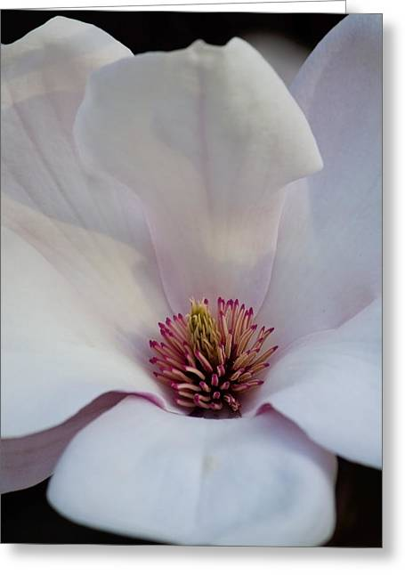 Magnolia's Splendor Greeting Card by Michael Friedman