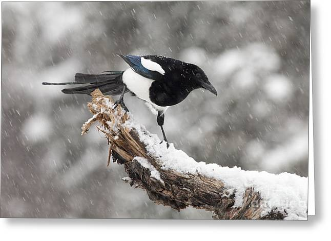 Magpie Out On A Branch Greeting Card