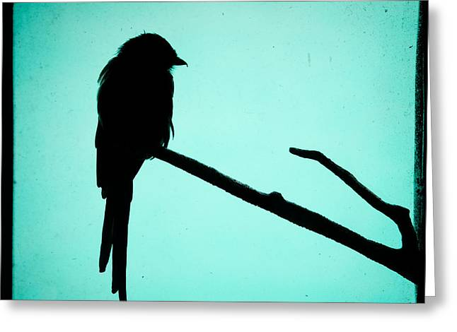 Magpie Shrike Silhouette Greeting Card