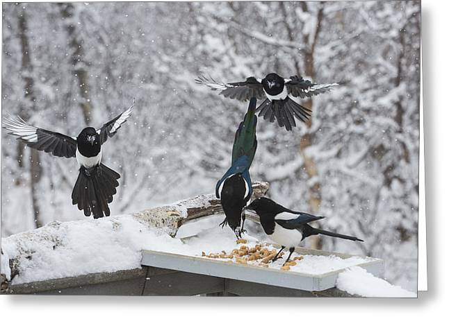 Magpies Flocking To The Feeder Greeting Card