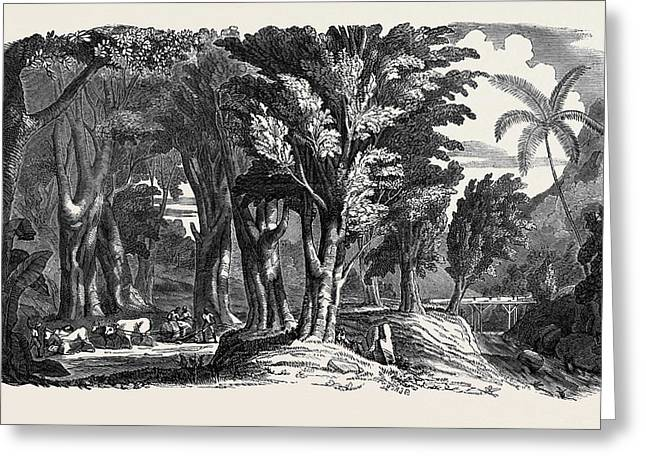 Mahogany Trees In The West Indies Greeting Card