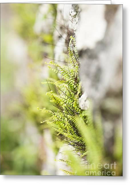 Maiden-hair Spleenwort Greeting Card by Anne Gilbert