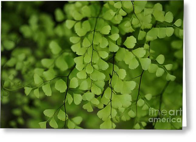 Greeting Card featuring the photograph Maidenhair by Linda Shafer