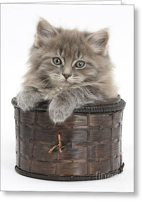 Maine Coon Kitten, Basket Greeting Card