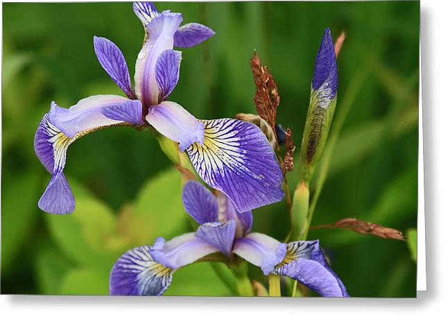 Maine Wild Iris Greeting Card