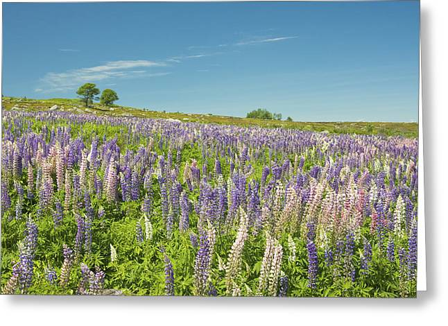 Maine Wild Lupine Flowers Greeting Card
