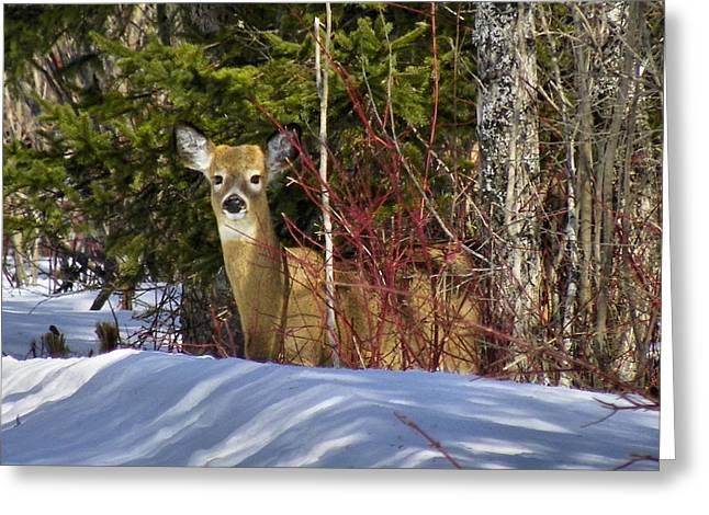 Maine Wildlife 2 Greeting Card by Gene Cyr