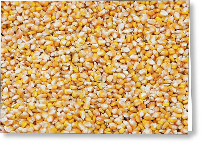 Maize Crop Greeting Card by Ashley Cooper