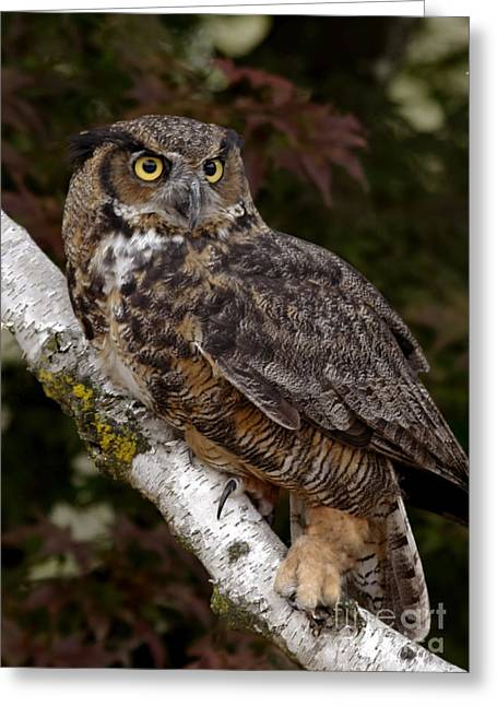 Majestic By Nature Great Horned Owl In A Birch Tree Greeting Card