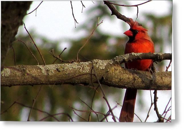 Majestic Cardinal Greeting Card
