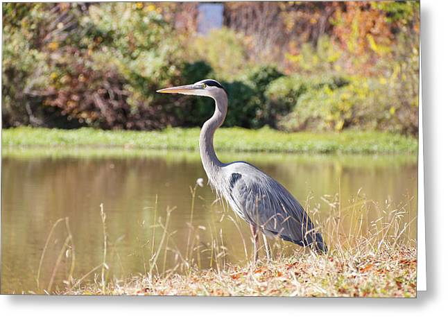 Majestic Great Blue Heron In Autumn Greeting Card