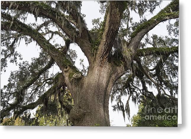 Majestic Live Oak Tree Greeting Card