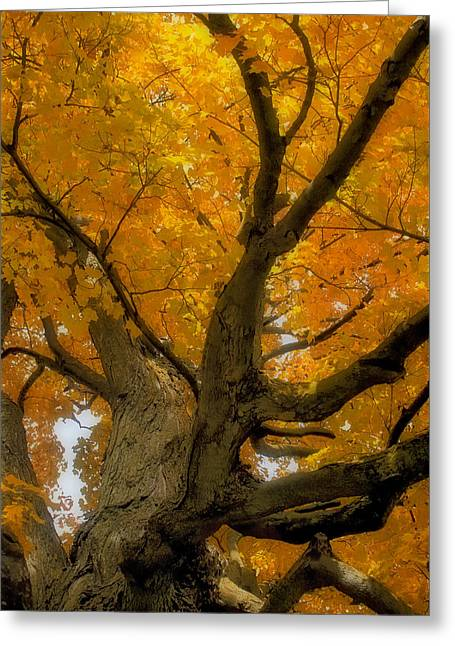 Greeting Card featuring the photograph Majestic Maple by Gary Hall