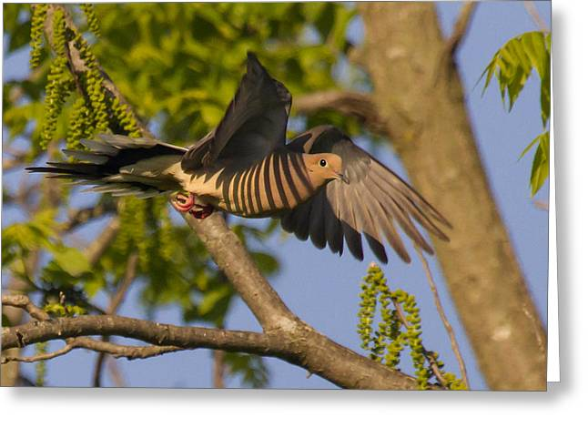 Majestic Mourning Dove  Greeting Card by David Lester