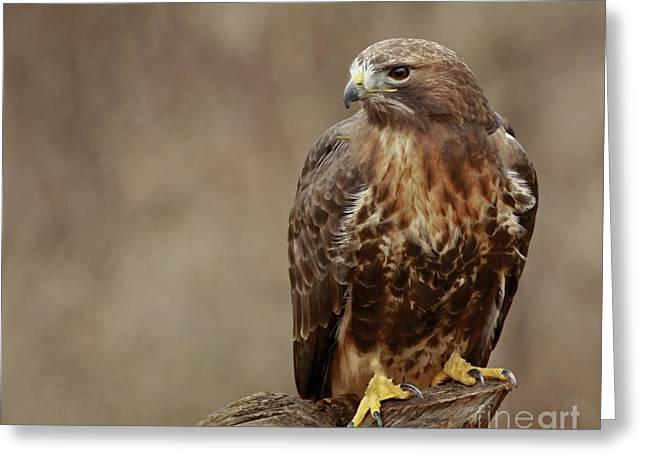 Majestic Redtailed Hawk Greeting Card by Inspired Nature Photography Fine Art Photography