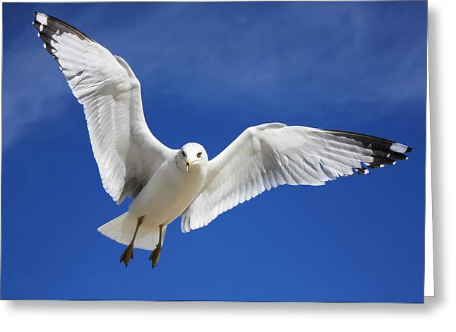 Majestic Seagull Greeting Card