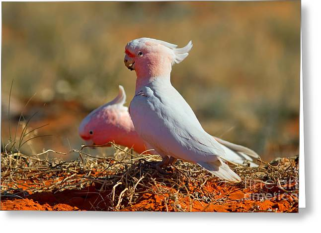 Major Mitchel Cockatoo Greeting Card by Bill  Robinson
