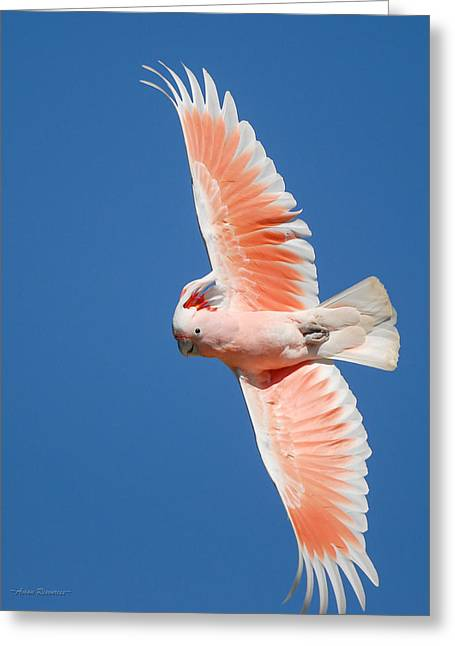 Major Mitchell's Cockatoo In Flight Greeting Card