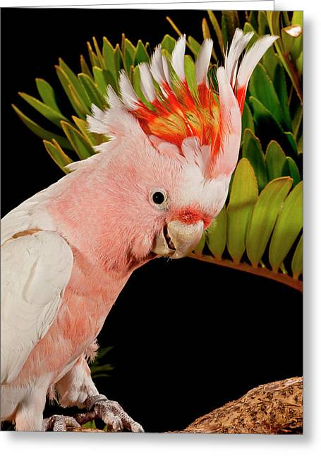 Major Mitchell's Cockatoo, Lophochroa Greeting Card by David Northcott