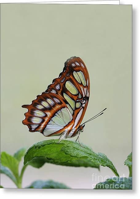 Greeting Card featuring the photograph Malachite Butterfly #5 by Judy Whitton