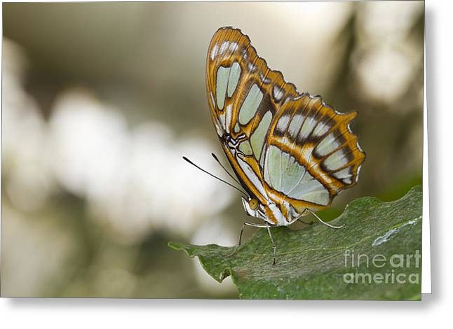 Malachite Butterfly Greeting Card by Bryan Keil