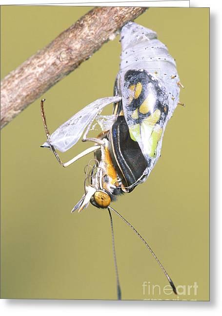 Malachite Butterfly Emerging 3 Of 6 Greeting Card by Millard H. Sharp