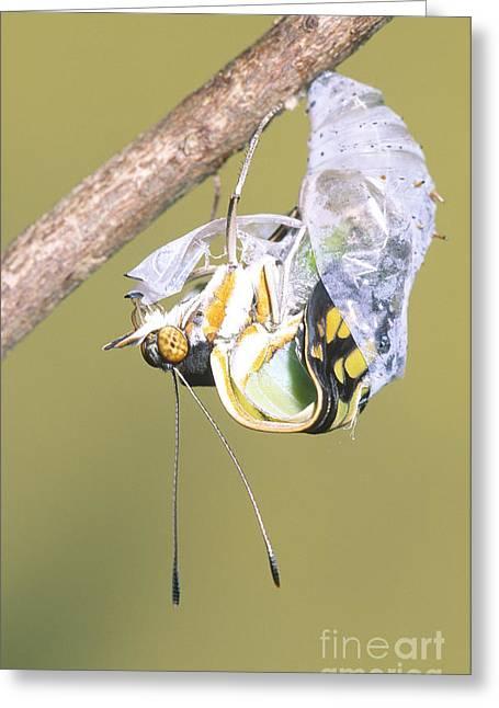 Malachite Butterfly Emerging 4 Of 6 Greeting Card by Millard H. Sharp