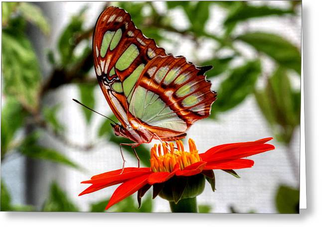 Greeting Card featuring the photograph Malachite Butterfly On A Mexican Coneflower by Larry Trupp