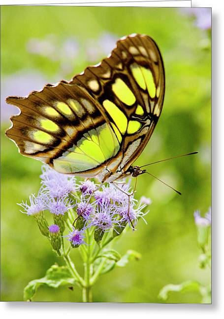 Malachite (siproeta Stelenes Greeting Card by Larry Ditto