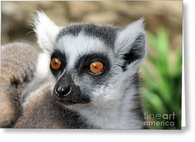 Malagasy Lemur Greeting Card by Sergey Lukashin
