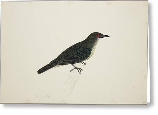 Malay Glossy Starling Greeting Card by British Library