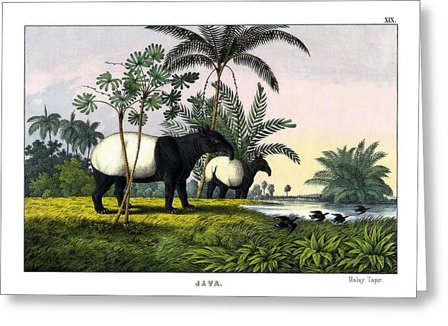 Malayan Tapir Greeting Card by Splendid Art Prints