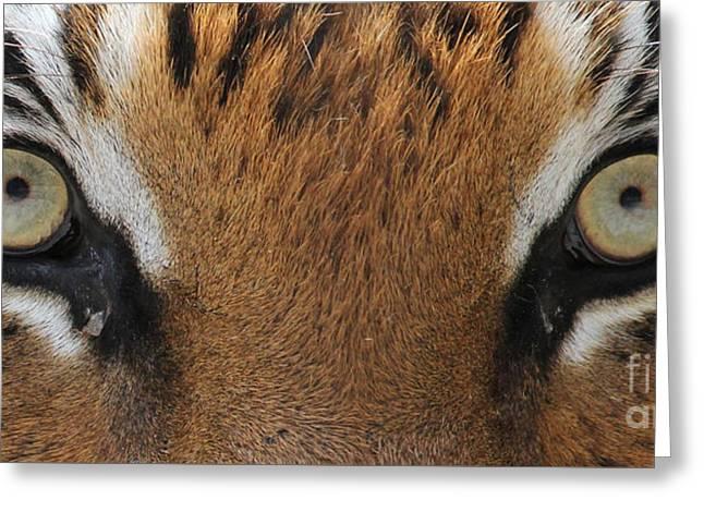 Malayan Tiger Eyes Greeting Card
