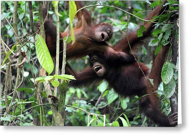 Malaysia, Borneo, Sepilok, Orangutan Greeting Card