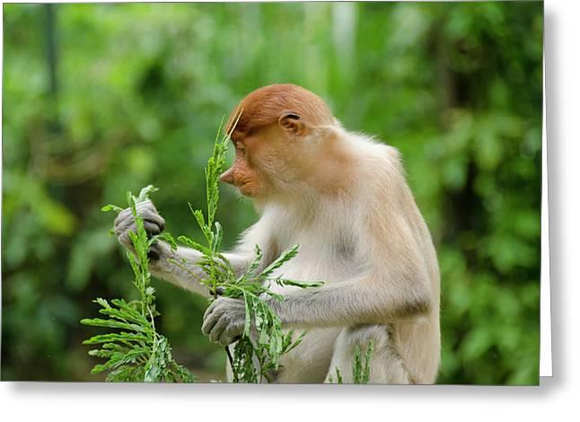 Malaysia, Island Of Borneo, Sabah, Kota Greeting Card by Cindy Miller Hopkins