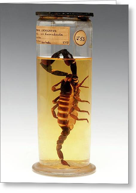 Malaysian Forest Scorpion Greeting Card by Ucl, Grant Museum Of Zoology