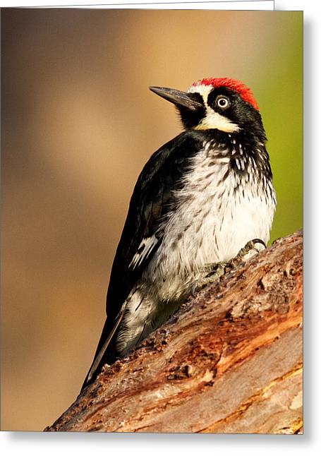 Male Acorn Woodpecker Greeting Card