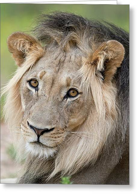 Male African Lion Portrait Greeting Card by Tony Camacho