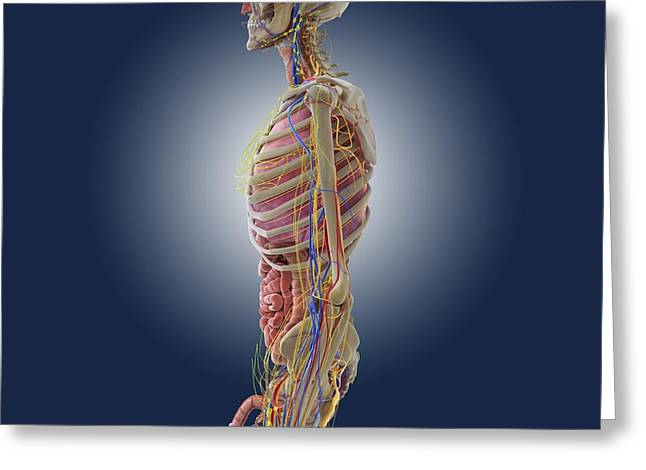 Male Anatomy, Artwork Greeting Card by Science Photo Library