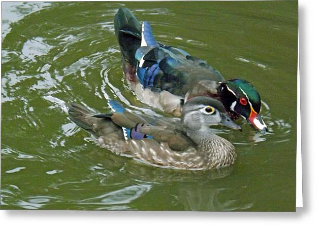 Male And Female Wood Ducks Greeting Card