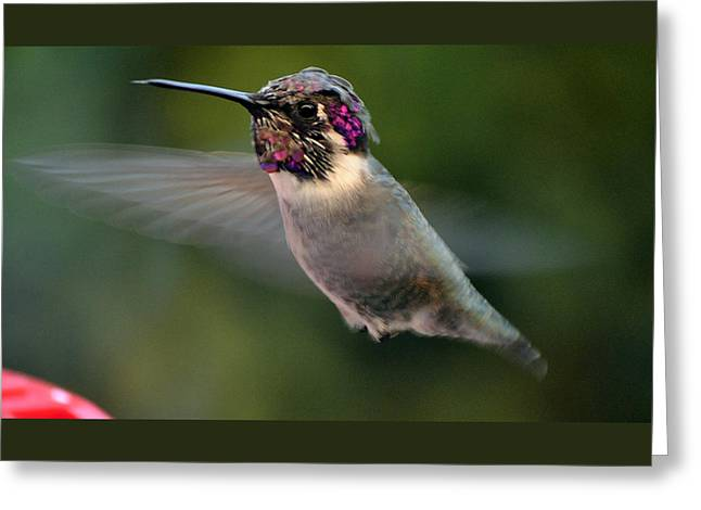 Greeting Card featuring the photograph Male Anna's In Flight by Jay Milo